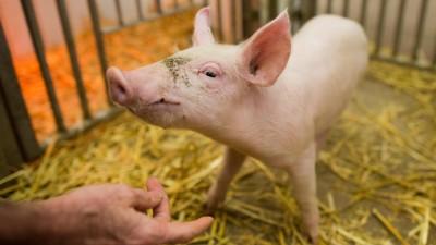 Ein Schwein steht am 30.01.2015 in der Klinik für kleine Klauentiere in der Tierärztlichen Hochschule (TiHo) in Hannover (Niedersachsen).  (picture alliance / dpa / Julian Stratenschulte)