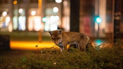 Ein Fuchs nachts am Berliner Alexanderplatz, im Hintergrund Lampen und Schaufenster. (imago / A. Friedrichs)