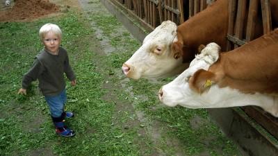 Ein kleiner Junge besucht Kühe im Stall. (imago/Michael Westermann)