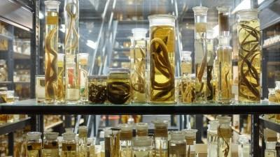 Die Ichthyologische Sammlung des Naturkundemuseums in Berlin enthält 130.000 in Alkohol eingelegte Fische. (dpa / M. C. Hurek)