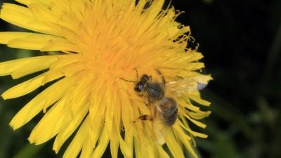 Eine Honigbiene (Apis mellifera) auf der Blüte des Löwenzahn (Taraxacum). Sie sammelt dort Pollen und Nektar für ihr Volk. Kleinschmalkalden, Thüringen, Deutschland, Europa Datum: 16.05.2017 | Verwendung weltweit (dpa)
