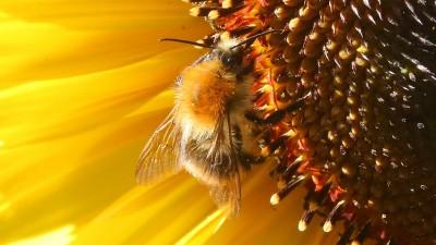 Eine Hummel sitzt auf der Blüte einer Sonnenblume und sammelt Nektar. (dpa / Wolfgang Kumm)
