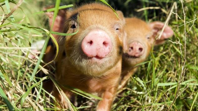 Schwein krafttier Krafttierkarte Wildschwein