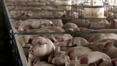 Eingepferchte Schweine in der Massentierhaltung. (Picture Alliance / AP Images / Charlie Riedel)
