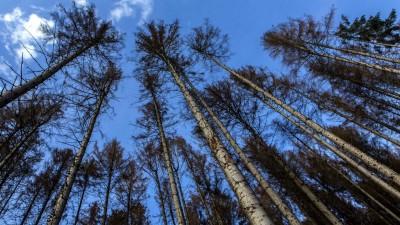 Vertrocknete und abgestorbene Fichten in einem Wald im Bergischen Land. (picture alliance / Goldmann)