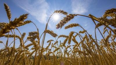 Weizenfeld, vertrocknet und nur niedrig gewachsen, durch die Sommer Trockenheit, Dürre, in Ostwestfalen Lippe, NRW (imago stock&people / Jochen Tack)