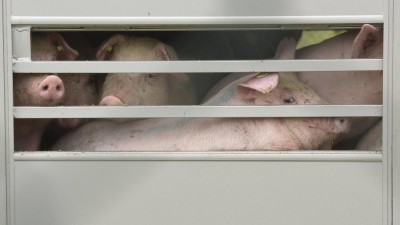 Ferkel werden in Tiertransportern zu den Masthöfen antransportiert. Zu sehen sind drei Schweine hinter Gittern. (imago / Kai Horstmann)