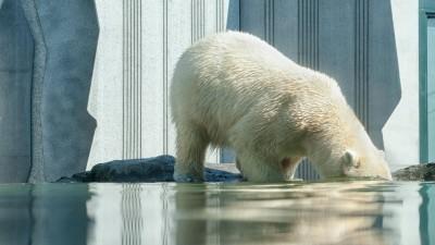 Das Bild zeigt einen Eisbär, der mit dem Kopf unter Wasser taucht. Die Eisbären am Nordpol leiden sehr unter dem Klimawandel und dem schmelzendem Eis.  (Unsplash/ Jaqueline Godany)