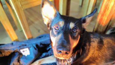 Der Schäferhundmischling Kaya liegt auf dem Boden und schaut von unten in die Kamera. (Susanne Billig)